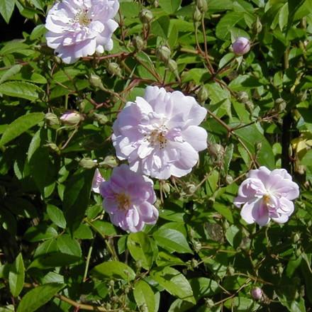 Rose Paul's Himalayan Musk (historisk slyngrose)  , barrotad