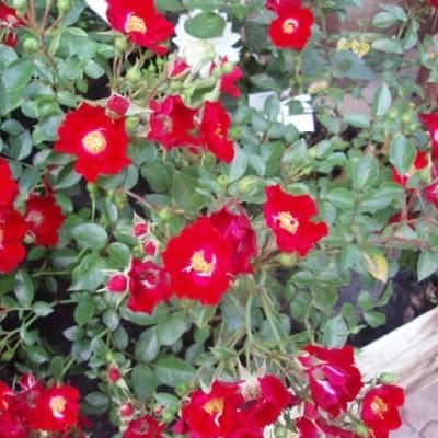 Rose 'Bassino' (bunddækkerose) barrodet