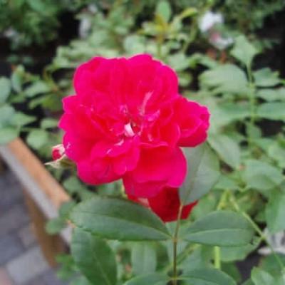 Rose Rød The Fairy  (bunddækkerose) , barrotad