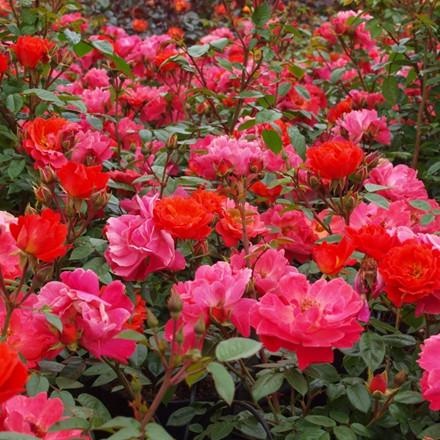 Rose Looking in your eyes (buketrose) , barrotad