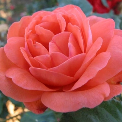 Rose 'Amelia Renaissance' (renaissance rose) barrotad