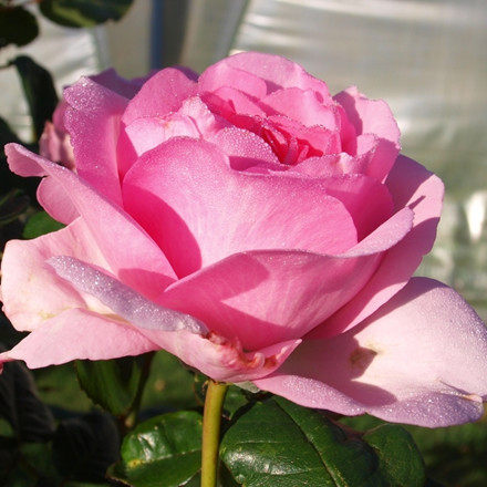 Rose Ghita Renaissance (renaissance rose), barrotad