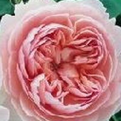 Rose Gentle Hermione  (engelsk rose) , barrotad