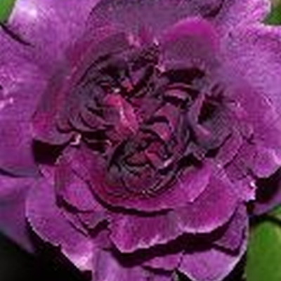 Rose Minerva (buketrose), barrodet
