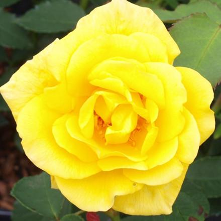 Rose Goldstern (slyngrose) , barrodet