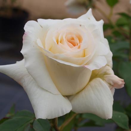 Rose Schneewalzer (slyngrose) , barrodet