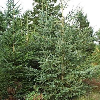 Picea sitchensis - Salgshøjde: 20-40 cm. (Barrodet bundt m/25 stk) - Sitkagran