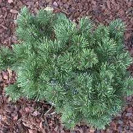 Pinus mugo var. Pumilio (Dværgbjergfyr) Salgsh.: 8-15 cm.  (Barrodet bdt. m/25 stk)
