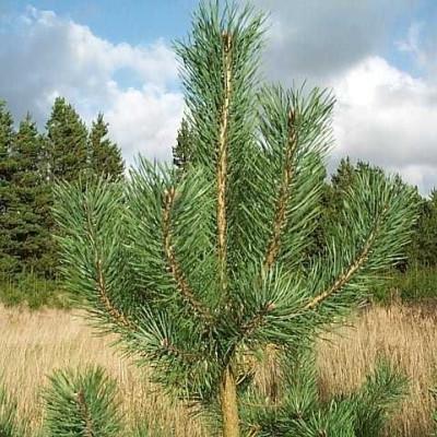 Pinus sylvestris (Skovfyr)  Salgsh.: 10-20 cm.  (Barrodet bdt m/25 stk)