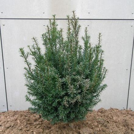 Taxus baccata - Salgshøjde: 15-20 cm.  (Barrodet bundt m/25 stk) - Taks