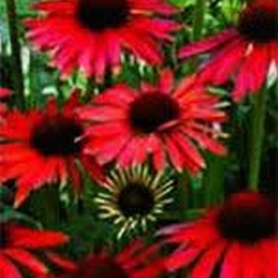 ECHINACEA purpurea 'Hot Summer' ® (Rudbeckia)- Solhat (MS