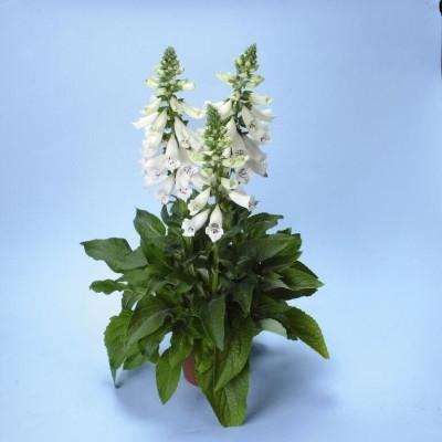DIGITALIS purpurea 'Dalmatian White' (Fingerbølblomst)