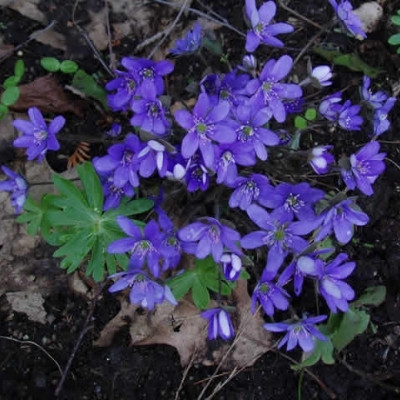 HEPATICA nobilis - Blå Anemone