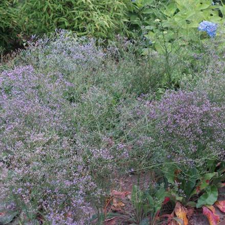 LIMONIUM latifolium - Statice