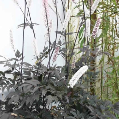 CIMICIFUGA ramosa 'Brunette' - Sølvlys