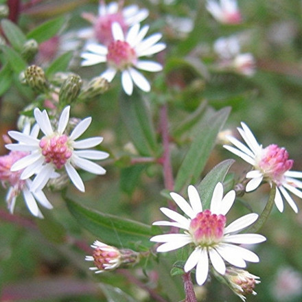 ASTER lat. 'Lady in Black' - Sommerens Farvel
