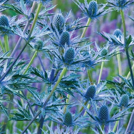 ERYNGIUM zabellii ' Big Blue'® - Alpemandstro