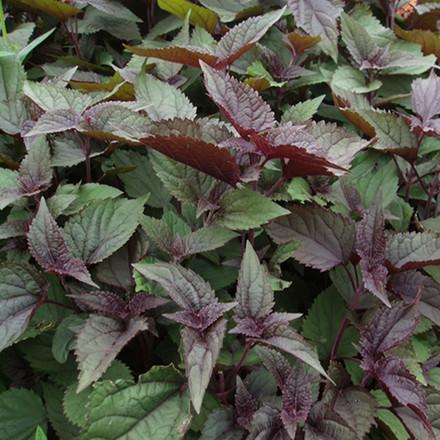 EUPATORIUM rugosum 'Chocolate' (Hjortetrøst)