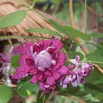 Clematis viticella 'Purpurea Plena Elegans' (Italiensk Skovranke) salgshøjde 20-50 cm.