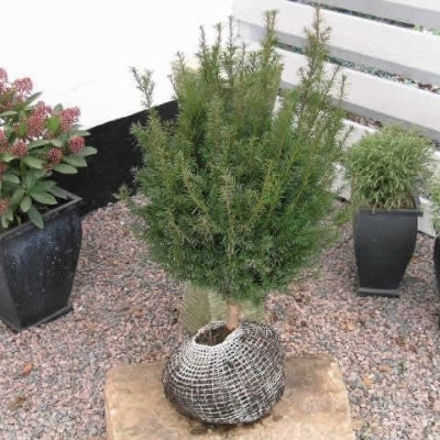 Taxus baccata - salgshøjde.: 30-50 cm. - Alm. Taks