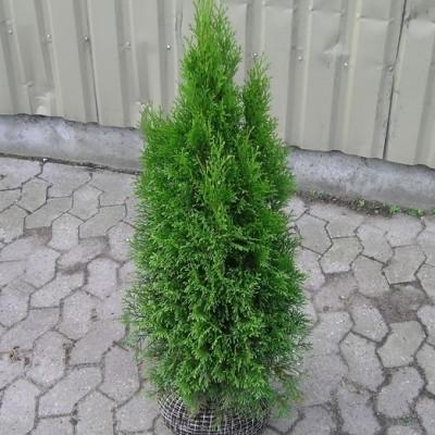 Thuja occidentalis 'Smaragd' - salgshøjde.: 60-80 cm. - Thuja
