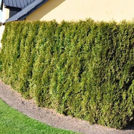 Thuja occidentalis 'Smaragd' - salgshøjde.: 100-125 cm. - Thuja (NP)