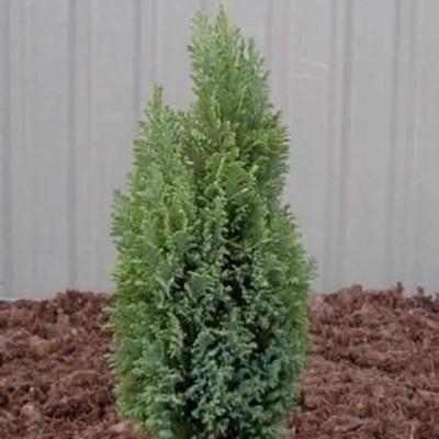 Chamaecyparis lawsoniana 'Ellwoods Gold' - salgshøjde.: 25-30 cm. - Cypres