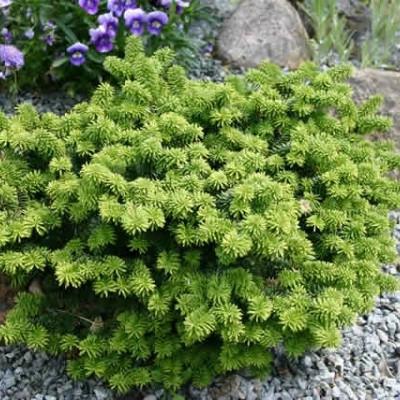 Abies balsamea 'Nana' - salgshøjde.: 12-20 cm. - Dværgbalsamgran