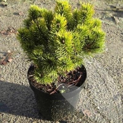 Pinus mugo 'Carstens Wintergold' - salgsbredde.: 15-30 cm. - Dværgfyr (NP)
