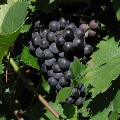 Vitis vinifera 'Don Muscat' (Vindrue) - Salgshøjde: 40-60 cm.