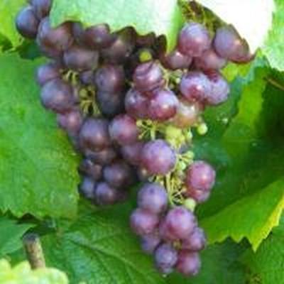 Vitis vinifera 'Vanessa' (Vindrue) - Salgshøjde: 40-60 cm.