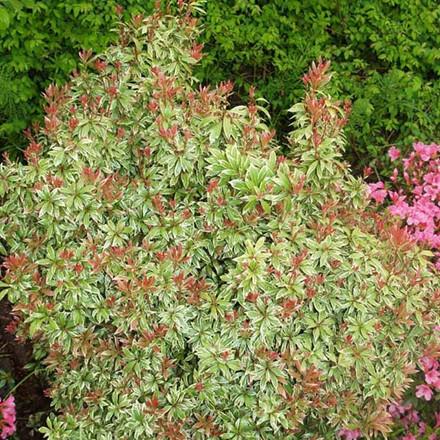 Pieris japonica 'Little Heath' Salgsh. 20-30 cm. - Pieris (BA)