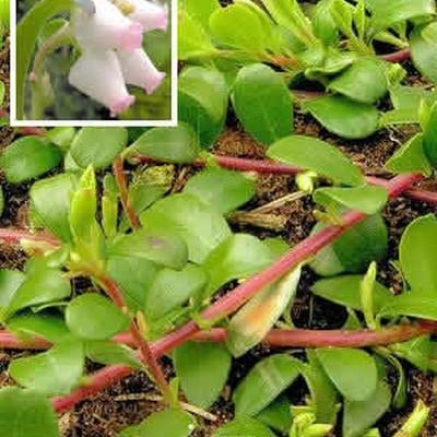 Arctostaphylos uva-ursi Salgsh. 5-10 cm. - Melbærris