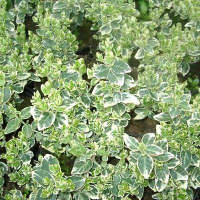 Euonymus fortunei 'Emerald Gaity' - Klätterbenved (LP)