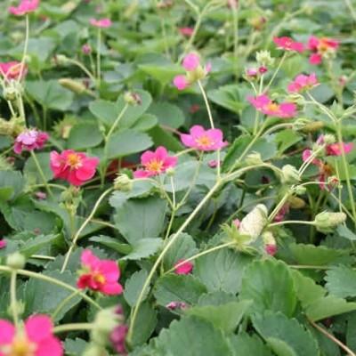 FRAGARIA  'Deep Rose' (Prydjordbær)