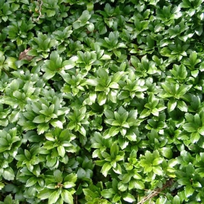 PACHYSANDRA  terminalis 'Green Carpet' (Vinterglans)