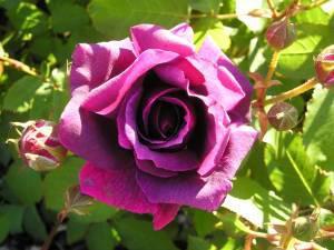 Rose Lila Wunder (storblomstrende)  , barrotad
