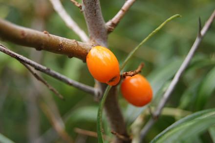 Hippophae rhamnoides 'Orange Energy' - Salgshøjde: 30-50 cm. - Havtorn/Sandtorn Hunplante