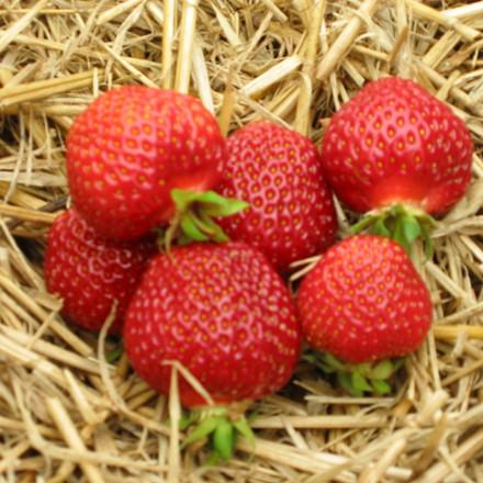 Fragaria × ananassa 'Honeyeye' (Jordbær) - 5 stk.