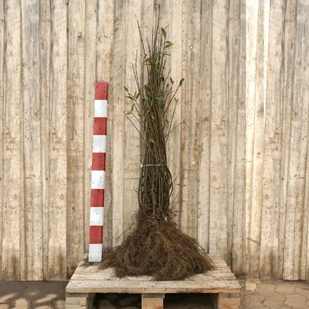 Ligustrum vulgare 'Liga' ( Liguster) Salgshøjde: 2 års 60-90 cm.  (Barrodet bdt m/10 stk)