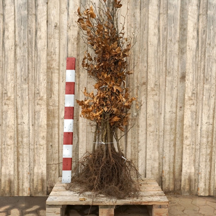 Fagus sylvatica (Alm. Bøg) Salgshøjde: 4 års 80-120 cm. (Barrodet bundt m/10 stk)