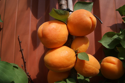 Prunus armeniaca 'Nancy'- salgshøjde: busk/lille træ 80-180 cm. - Abrikos