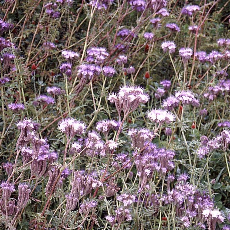 Honningurt Phacelia tanacetifolia  - 1årig - 10 kg. sæk - Frø (P736510)