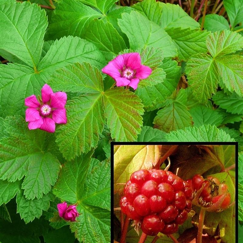 Rubus x stellarcticus 'Beata' - (Allåkerbær)