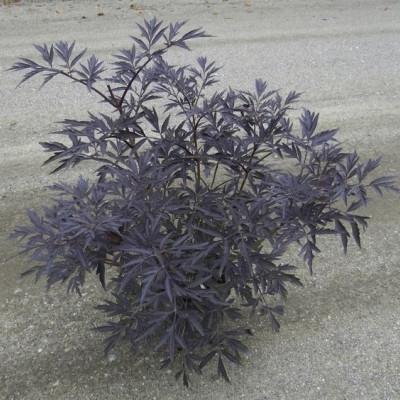 Sambucus nigra ' Black Lace'. (Rødbladet Hyld) - Salgshøjde: 30-50 cm.