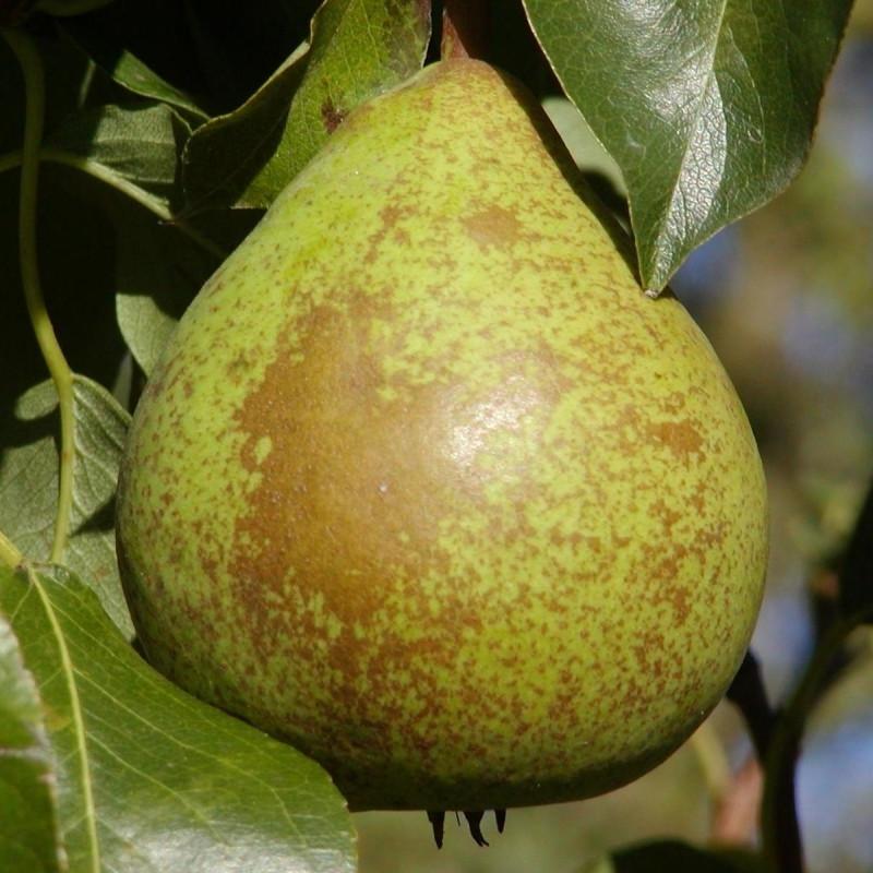 Pæretræ 'Herrepære' (Vildstammetræ) -salgshøjde:  130-175 cm.