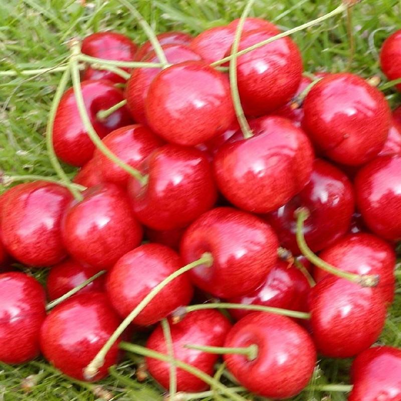 Kirsebærtræ 'Hedelfinger' -salgshøjde:  130-175 cm.
