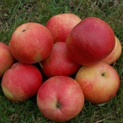 Æbletræ 'Discovery' (3 års træ) -salgshøjde: 130-175 cm.