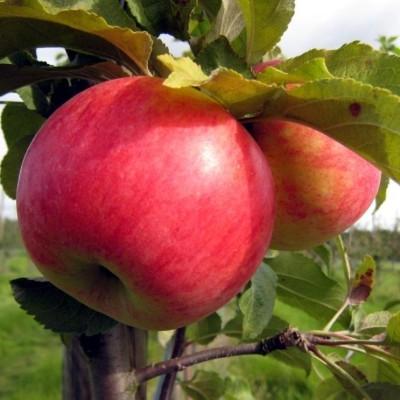 Æbletræ 'Fredrik' -salgshøjde: 130-175 cm.