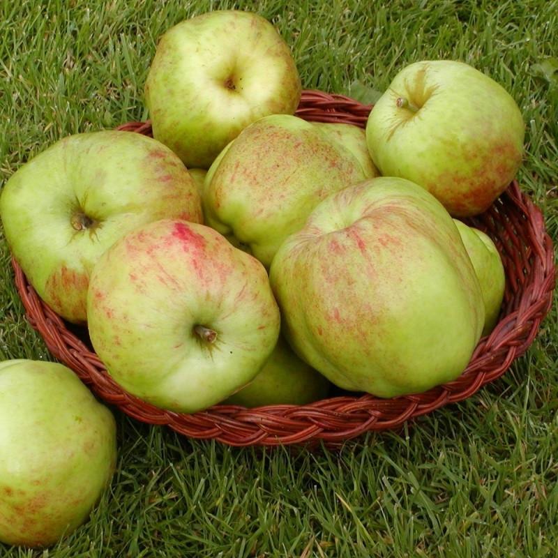 Æbletræ 'Gul Gråsten' (Espalier) -salgshøjde: 130-175 cm.